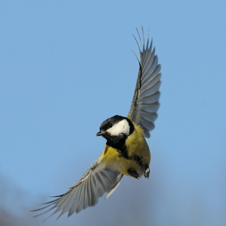 parus major: Flying Great tit (Parus major) against blue sky background