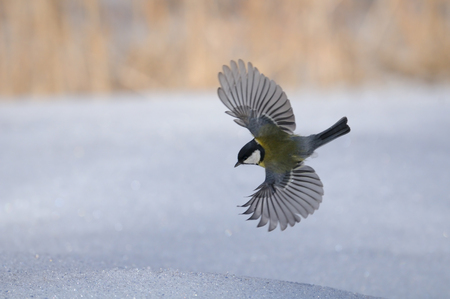 parus: Flying Great tit (Parus major) above snow Stock Photo