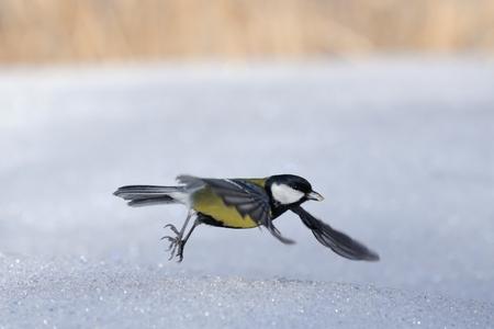 humilde: Carbonero común (Parus major) con una semilla humilde volar por encima de la nieve Foto de archivo