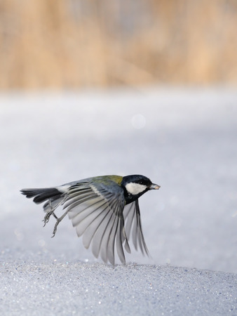 parus major: Great tit (Parus major) with a seed flying lowly above snow