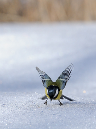 parus major: Great tit (Parus major) flapping wings at snowdrift