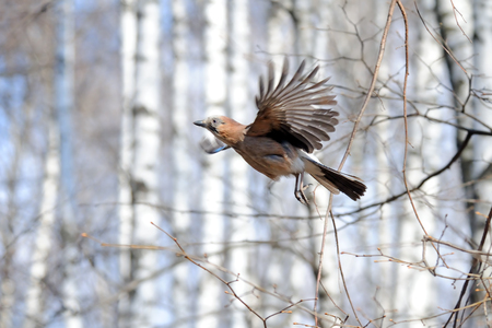glandarius: Flying  Eurasian jay (Garrulus glandarius) in spring birch forest Stock Photo