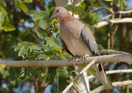sharm: Perching Laughing Dove (Streptopelia senegalensis) in the resort of Sharm el-Sheikh, Egypt Stock Photo