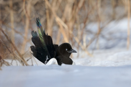 pica: Common Magpie (Pica pica) bathing in snowdrift. Moscow region, Russia