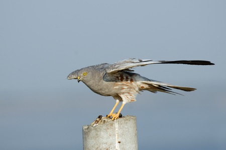 flapping: Flapping wings perching male Montagu Harrier (Circus pygargus). Saratov region, Russia