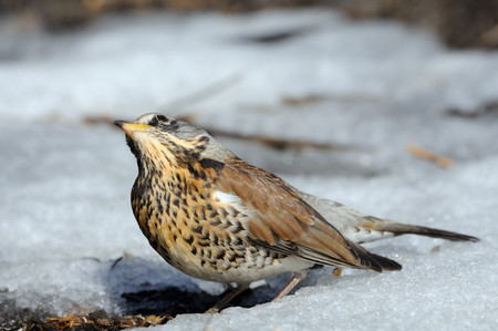 pilaris: Fieldfare (Turdus pilaris) basks at the sun just after season migration arriving in spring field