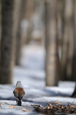 pilaris: Fieldfare (Turdus pilaris) in snowy forest early spring. Moscow region, Russia Stock Photo