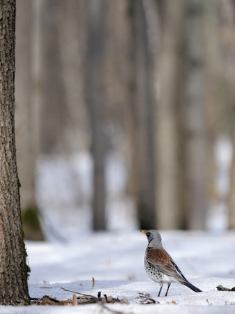 pilaris: Fieldfare (Turdus pilaris) just after season migration in spring forest. Moscow region, Russia