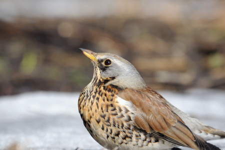 pilaris: Fieldfare spring portrait  (Turdus pilaris) just after season migration arriving in spring field. Moscow region, Russia