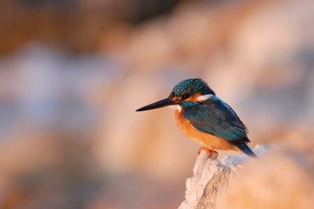 common kingfisher: Common Kingfisher (Alcedo atthis) on the beach of Sharm el-Sheikh resort, Egypt