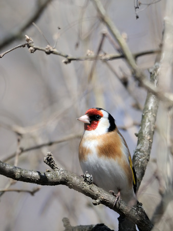 goldfinch: Perching Goldfinch (Carduelis carduelis) in early spring. Moscow region, Russia