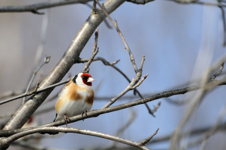 perching: Perching Goldfinch (Carduelis carduelis) in early spring. Moscow region, Russia