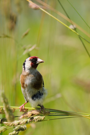 goldfinch: European goldfinch (Carduelis carduelis) at summer meadow. Moscow region, Russia Stock Photo