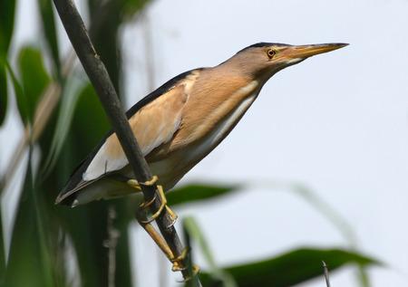 bittern: Perching Little bittern (Ixobrychus minutus) at reed in spring. Side, Turkey