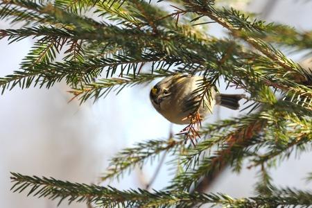 firry: Goldcrest (Regulus regulus ) among fir tree branches. National park Plesheevo Lake, Yaroslavl region, Russia
