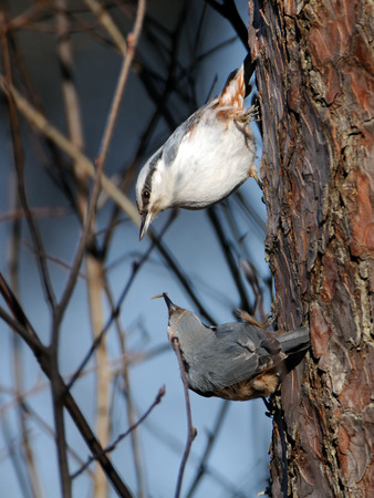 topsyturvy: Male Eurasian Nuthatch (Sitta europaea) feeds female in spring. National park Plesheevo Lake, Yaroslavl region, Russia