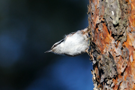 seeks: Eurasian Nuthatch (Sitta europaea) seeks feed at pine-tree in spring. National park Plesheevo Lake, Yaroslavl region, Russia Stock Photo