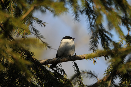 firry: Perching Willow tit (Poecile montanus) in firry forest. National park Plesheevo Lake, Yaroslavl region, Russia