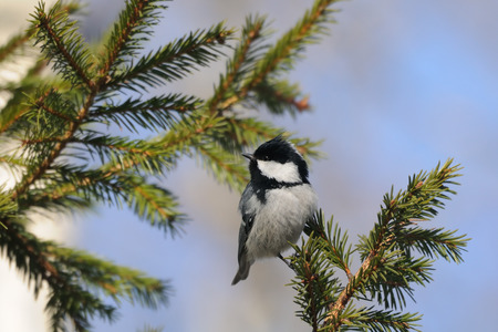 firry: Perching Coal tit (Periparus ater, Parus ater) in spring forest. National park Plesheevo Lake, Yaroslavl region, Russia Stock Photo
