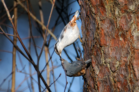 topsyturvy: Male Eurasian Nuthatch (Sitta europaea) feeds female in spring. National park Plesheevo Lake, Yaroslavl region, Russia