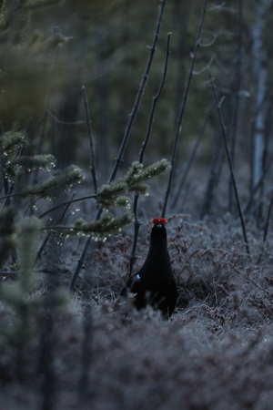 courting: Male Black Grouse (Tetrao tetrix) at swamp courting place before dawn. Bludovo boloto (Bawdry wetland) in National park Plesheevo Lake, Yaroslavl region, Russia Stock Photo