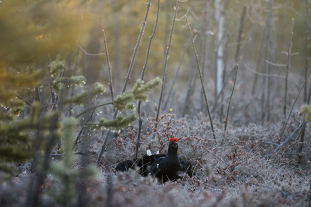 courting: Male Black Grouse (Tetrao tetrix) at swamp courting place at dawn. Bludovo boloto (Bawdry wetland) in National park Plesheevo Lake, Yaroslavl region, Russia Stock Photo