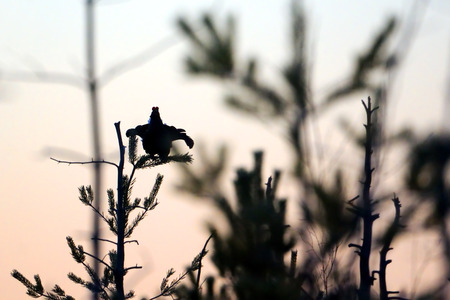 courting: Silhouette of perching male Black Grouse (Tetrao tetrix) above courting place before dawn. Bludovo boloto (Bawdry wetland) in National park Plesheevo Lake, Yaroslavl region, Russia