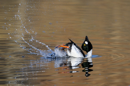 courtship: Courtship display of male Common goldeneye (Bucephala clangula) reflected in pond water surface. Moscow region, Russia