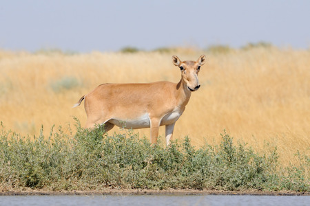 russia steppe: Critically endangered wild Saiga antelope (Saiga tatarica) near watering in steppe. Federal nature reserve Mekletinskii, Kalmykia, Russia, August, 2015