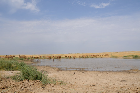russia steppe: Critically endangered wild Saiga antelopes (Saiga tatarica) at watering in steppe. Federal nature reserve Mekletinskii, Kalmykia, Russia, August, 2015