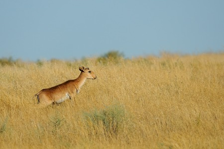 russia steppe: Young male wild Saiga antelope (Saiga tatarica) in morning steppe. Federal nature reserve Mekletinskii, Kalmykia, Russia, August, 2015
