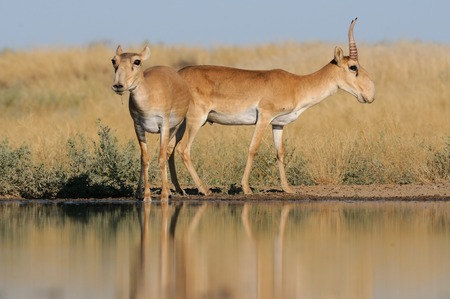 russia steppe: Critically endangered wild Saiga antelopes (Saiga tatarica, male and female) at watering in steppe. Federal nature reserve Mekletinskii, Kalmykia, Russia, August, 2015