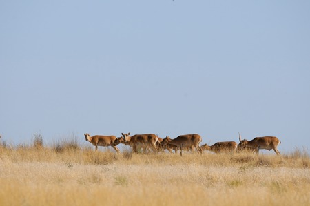 russia steppe: Wild Saiga antelopes (Saiga tatarica) in morning steppe. Federal nature reserve Mekletinskii, Kalmykia, Russia, August, 2015