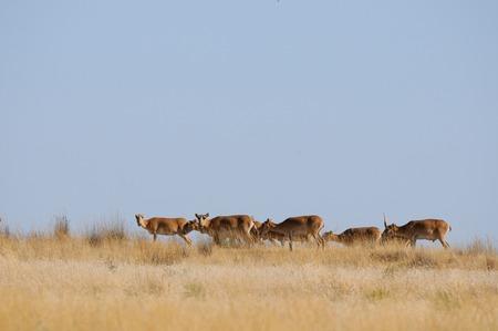 wildlife preserve: Wild Saiga antelopes (Saiga tatarica) in morning steppe. Federal nature reserve Mekletinskii, Kalmykia, Russia, August, 2015