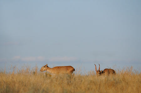 russia steppe: Critically endangered wild Saiga antelopes (Saiga tatarica, male and female) in steppe. Federal nature reserve Mekletinskii, Kalmykia, Russia, August, 2015