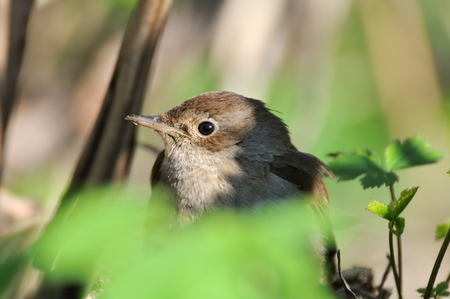 thrush: Thrush Nightingale (Luscinia luscinia) closeup. Moscow region, Russia