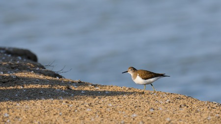 river banks: Common sandpiper (Tringa hypoleucos, Actitis hypoleucos) at Manych lake bank. Kalmykia, Russia