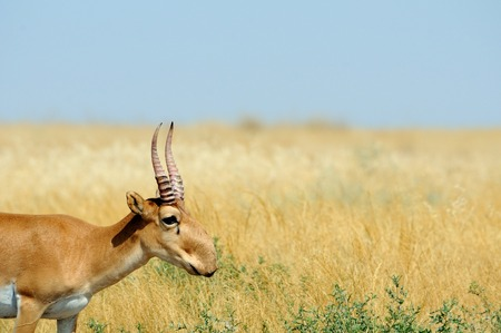 russia steppe: Wild male Saiga antelope (Saiga tatarica) in morning steppe. Federal nature reserve Mekletinskii, Kalmykia, Russia, August, 2015