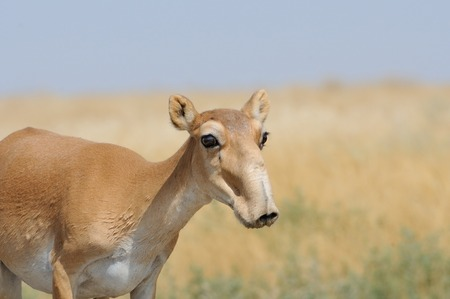 russia steppe: Wild female Saiga antelope (Saiga tatarica) in morning steppe. Federal nature reserve Mekletinskii, Kalmykia, Russia, August, 2015 Stock Photo