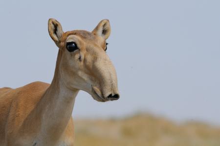 Wild Saiga antelope (Saiga tatarica) in steppe. Federal nature reserve Mekletinskii, Kalmykia, Russia, August, 2015