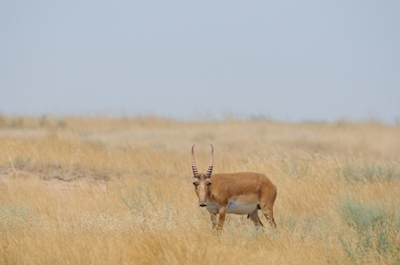 russia steppe: Critically endangered wild male Saiga antelope (Saiga tatarica) in morning steppe. Federal nature reserve Mekletinskii, Kalmykia, Russia, August, 2015