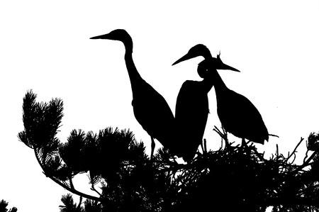 Three Grey Heron (Ardea cinerea) juvenile birds in the nest silhouette. National park Plesheevo Lake, Yaroslavl region, Russia