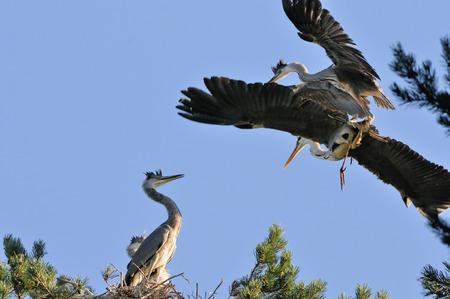 ardea cinerea: Adult bird and one Grey Heron (Ardea cinerea) chick fly to the nest. National park Plesheevo Lake, Yaroslavl region, Russia Stock Photo