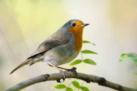 perching: Perching European Robin (Erithacus rubecula) in spring. Moscow region, Russia Stock Photo