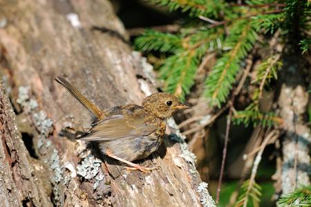 erithacus: Juvenile European Robin (Erithacus rubecula) perching at tree trunk. Yaroslavl region, Russia