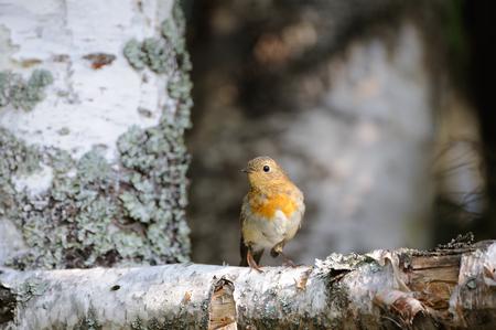 erithacus rubecula: Perching European Robin (Erithacus rubecula) at birch trunk. Yaroslavl region, Russia