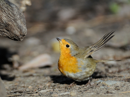 Flapping wings European Robin (Erithacus rubecula) at ground. Moscow region, Russia