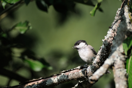 poecile: Crying Willow tit (Poecile montanus, Parus montanus) in summer forest. Yaroslavl region, Russia Stock Photo