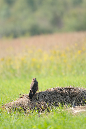 juvenile: Perching juvenile Montagus harrier (Circus pygargus) at the meadow. Kaluga region, Russia