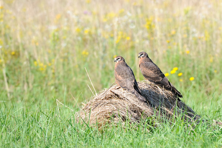 perching: Two perching juvenile Montagus harriers (Circus pygargus) at the meadow. Kaluga region, Russia